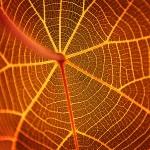 umber leaf